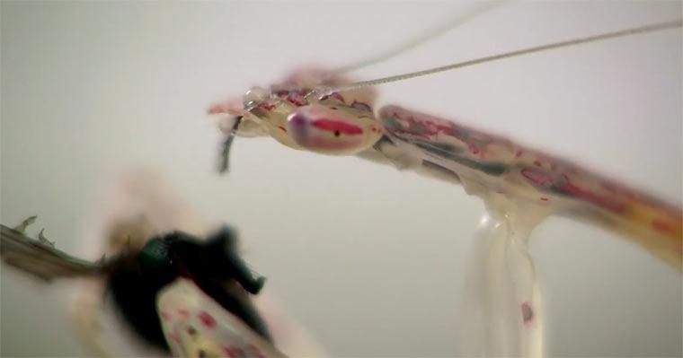 Transparente Gottesanbeterin isst Fliege