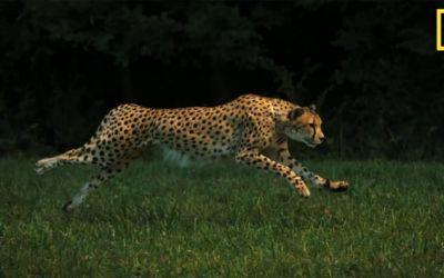 national_geographic_cheetah