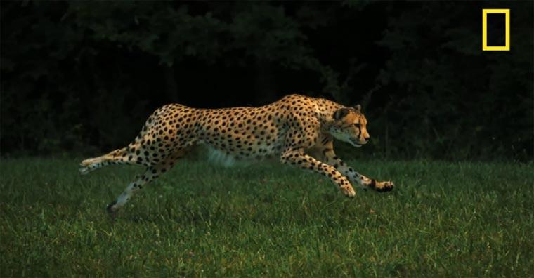 National Geographic filmt einen Gepard beim Sprint