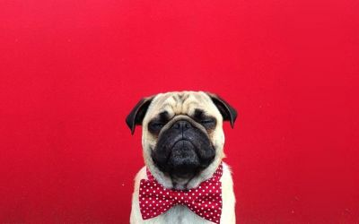 norm_the_pug_01