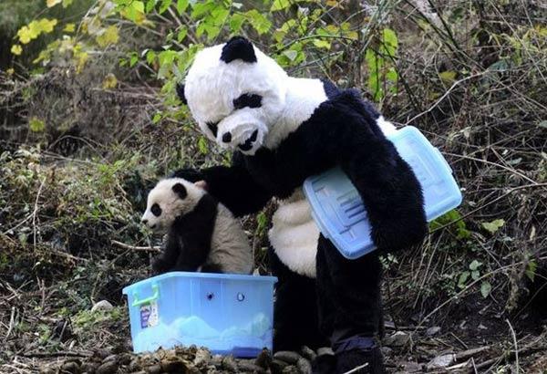 Verarsche: Pandas im chinesischen Zoo