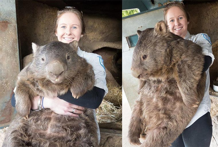 Das größte Wombat der Welt