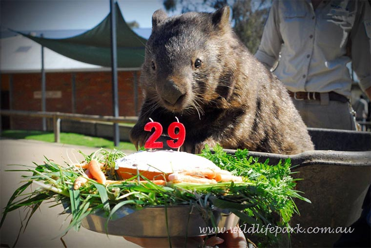 Das größte Wombat der Welt patrick-wombat_02