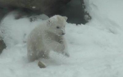 polar_bear_cub_snow