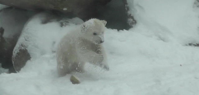 Extra Fluff: Eisbärchen trifft das erste Mal auf Schnee