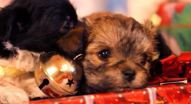 Fluff: Hundewelpen spielen mit Weihnachtsgeschenken
