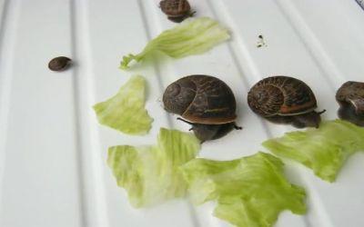 salatschnecken