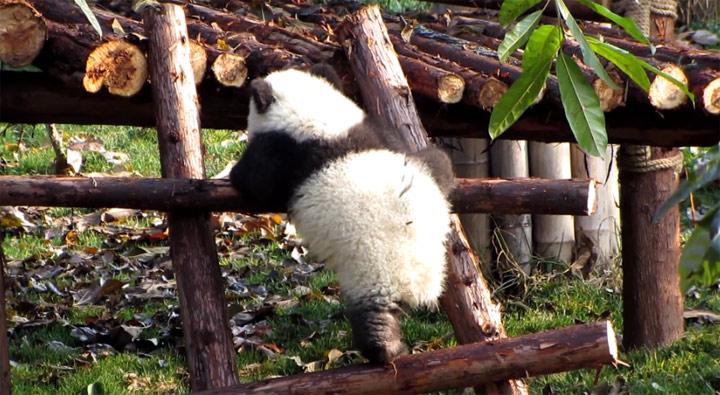 Der kleine Panda und die Leiter