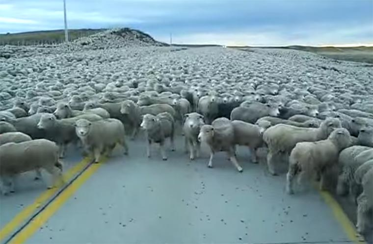 Durch ein Meer an Schafen Flock-of-sheep