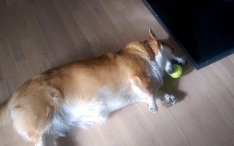 Der Inbegriff des faulen Hundes corgi-derping