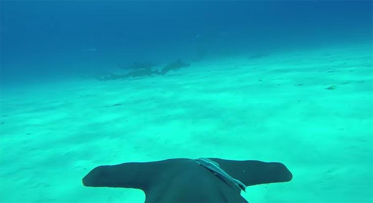 Hammerhai mit GoPro im Meer Hammerhead-POV