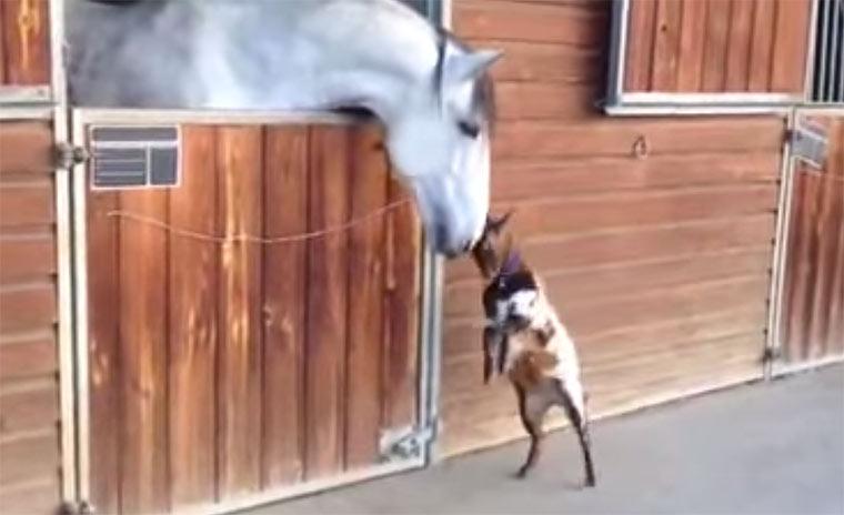 Babyziege will Pferd Kopfnuss geben