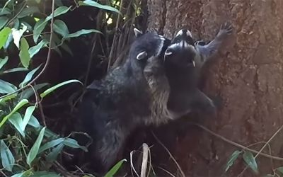 racoon-training