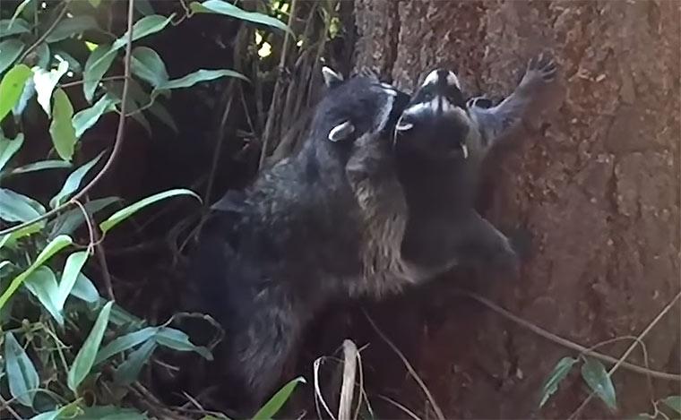 Waschbärmutter bringt Kleinem das Klettern bei racoon-training1