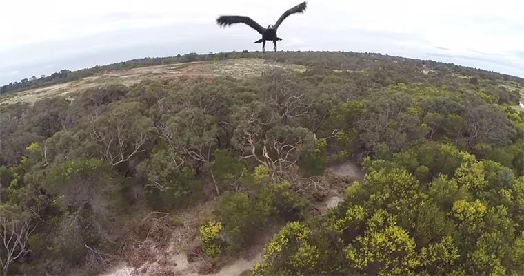 Adler attackiert Kameradrohne