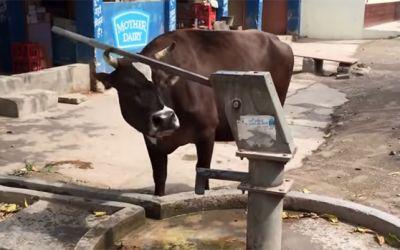 smart-cows