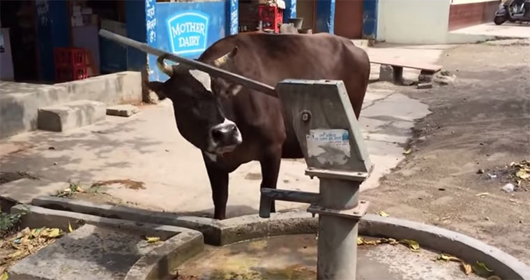 Schlaue Kühe sind schlau smart-cows