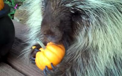 porcupine-eating-pumpkin