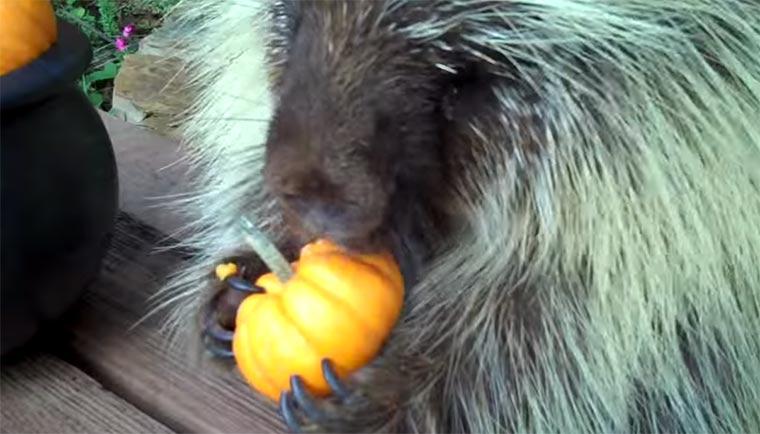 Nur ein Stachelschwein, das Mini-Kürbisse isst
