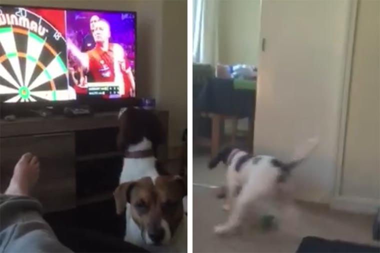 Hund versucht TV-Darts hinterher zu rennen Hund-Darts-TV