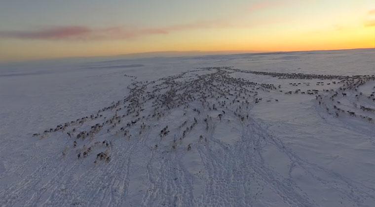Drohnen-Aufnahmen einer Rentier-Herde rentier-wanderung