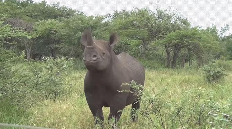 Erstaunlich leicht: Nashorn auf den Arm nehmen