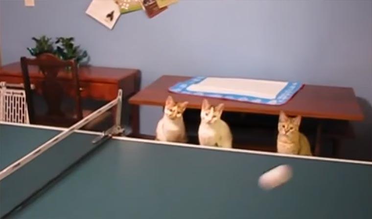 Katzen, die Tischtennis mitspielen wollen
