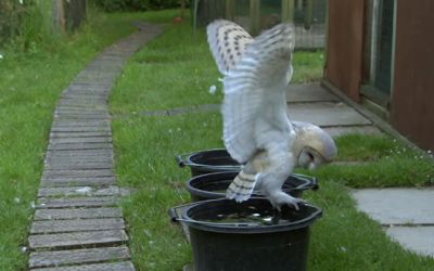 barn-owl-learns-to-fly