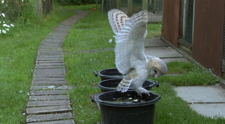 Wenn Eulen fliegen lernen barn-owl-learns-to-fly