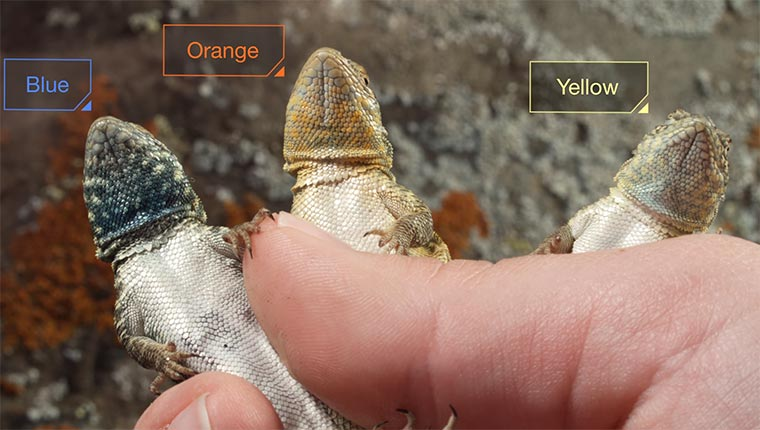 lizards-rock-paper-scissor