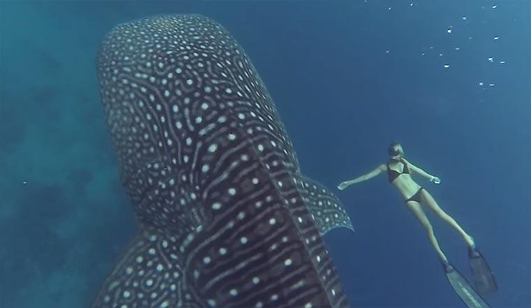 Mit Walhaien schwimmen ocean-ramsey-whale-shark