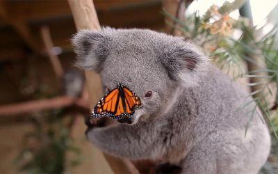 butterfly-on-koala