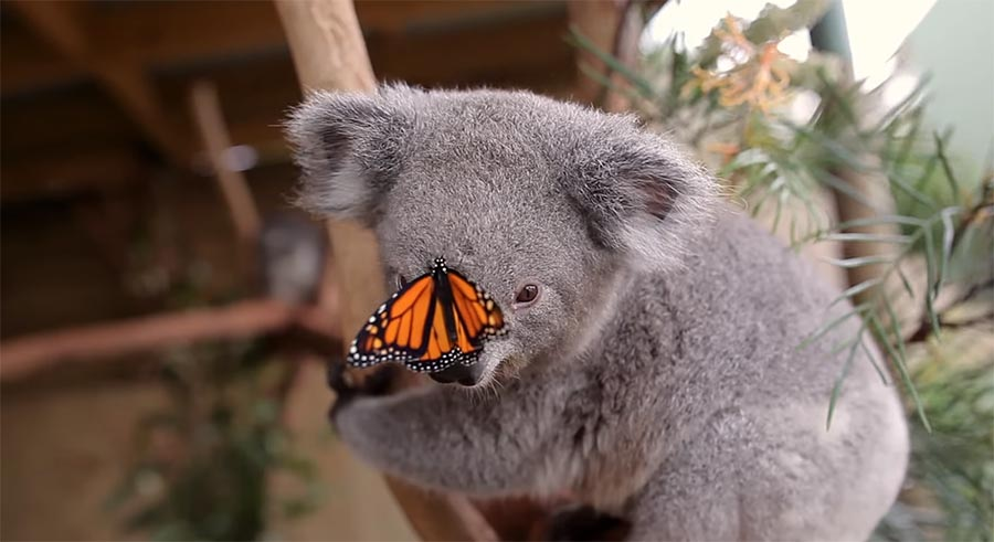 Schmetterling wird Star beim Koala-Fotoshooting butterfly-on-koala