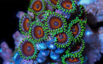 makro-korallen