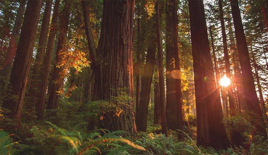 Die gigantischen Bäume im Redwood Park redwood-MTJP