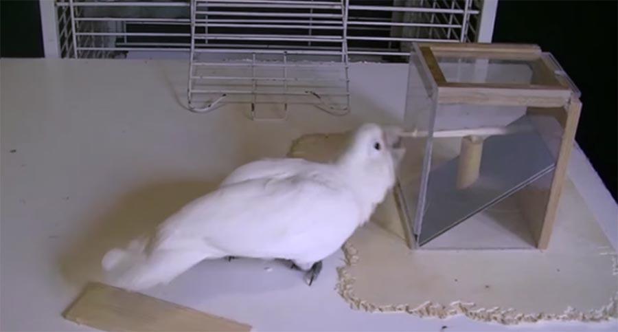 Smarter Kakadu erstellt Werkzeuge, um ans Fressen zu gelangen smart-cockatoo