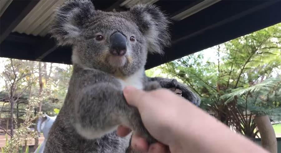 Durch einen australischen Zoo Händeschütteln