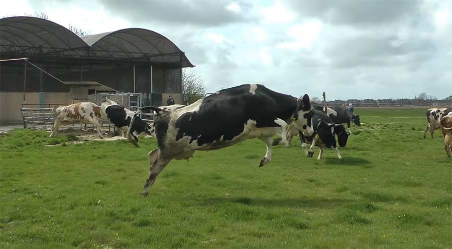 Vor Freude tanzende Kühe