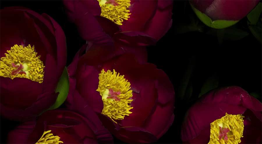 Im Zeitraffer aufblühende Blüten