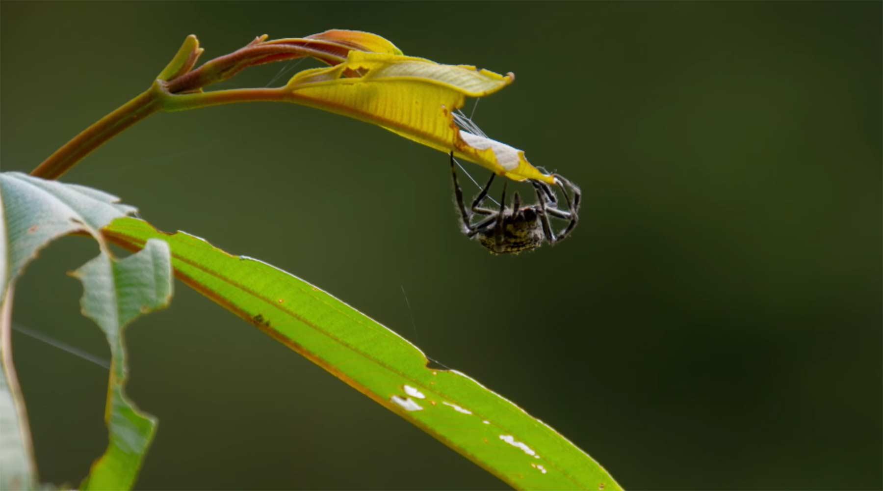 Spinne schießt Netz über 25 Meter