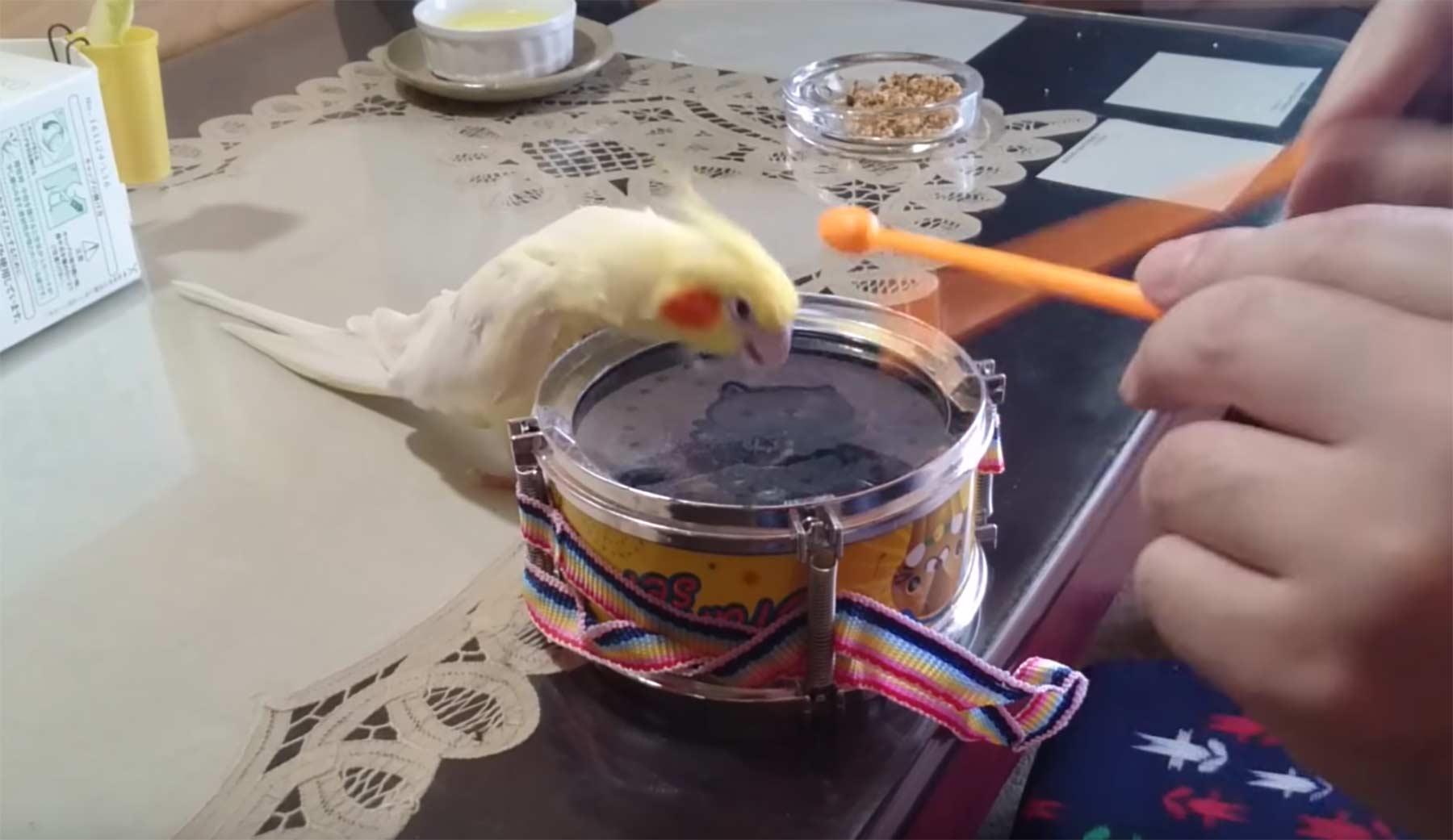 Headbang-trommelnder Vogel