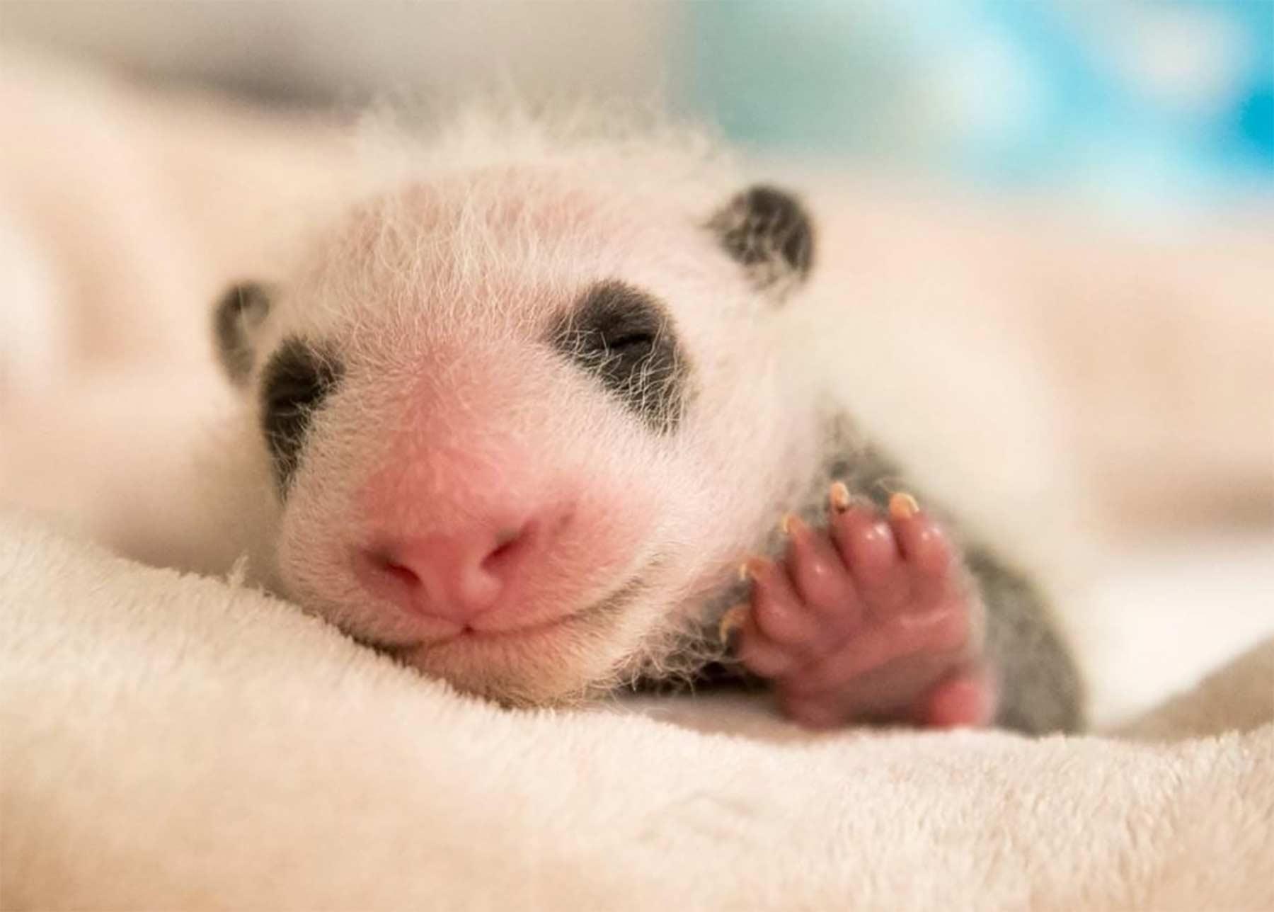 Die ersten 30 Tage im Leben eines Pandababys