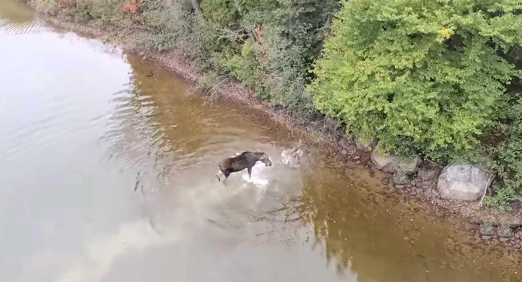 Drohne filmt Aufeinandertreffen von Wolf und Elch