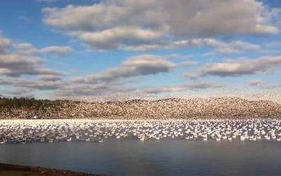 10.000 Gänse machen gemeinsam den Abflug