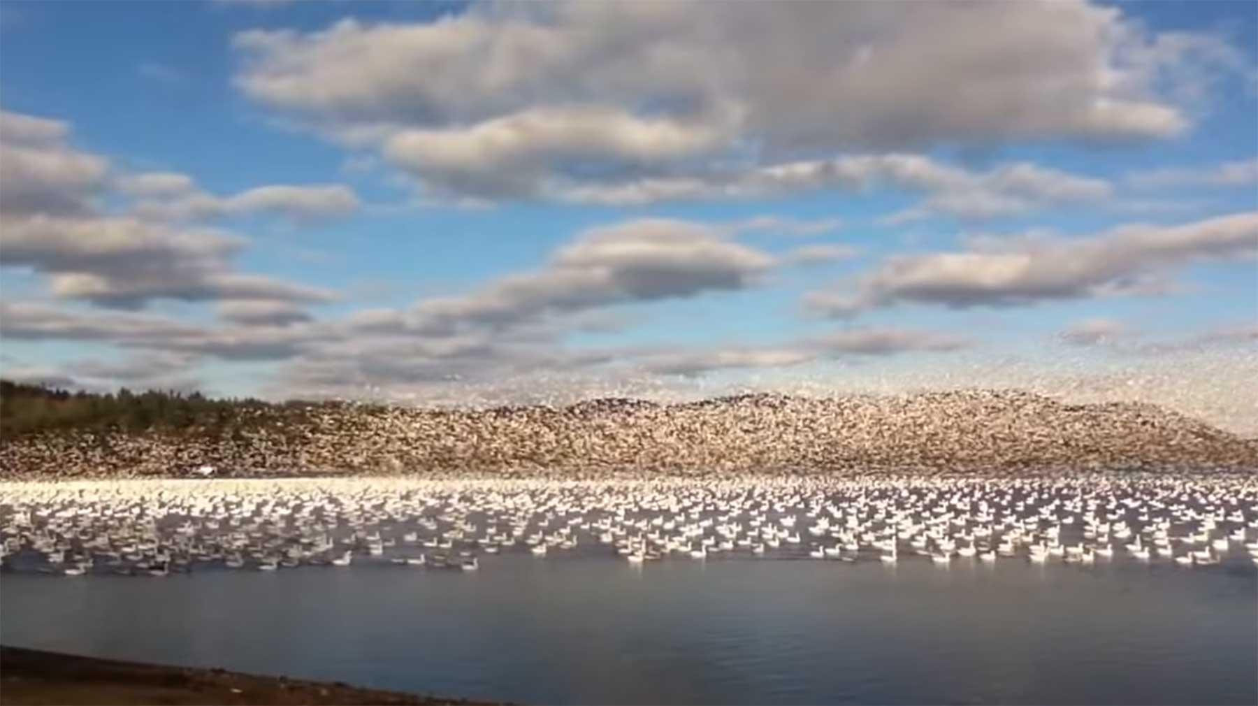 10.000 Gänse machen gemeinsam den Abflug schwarm-schneegaense