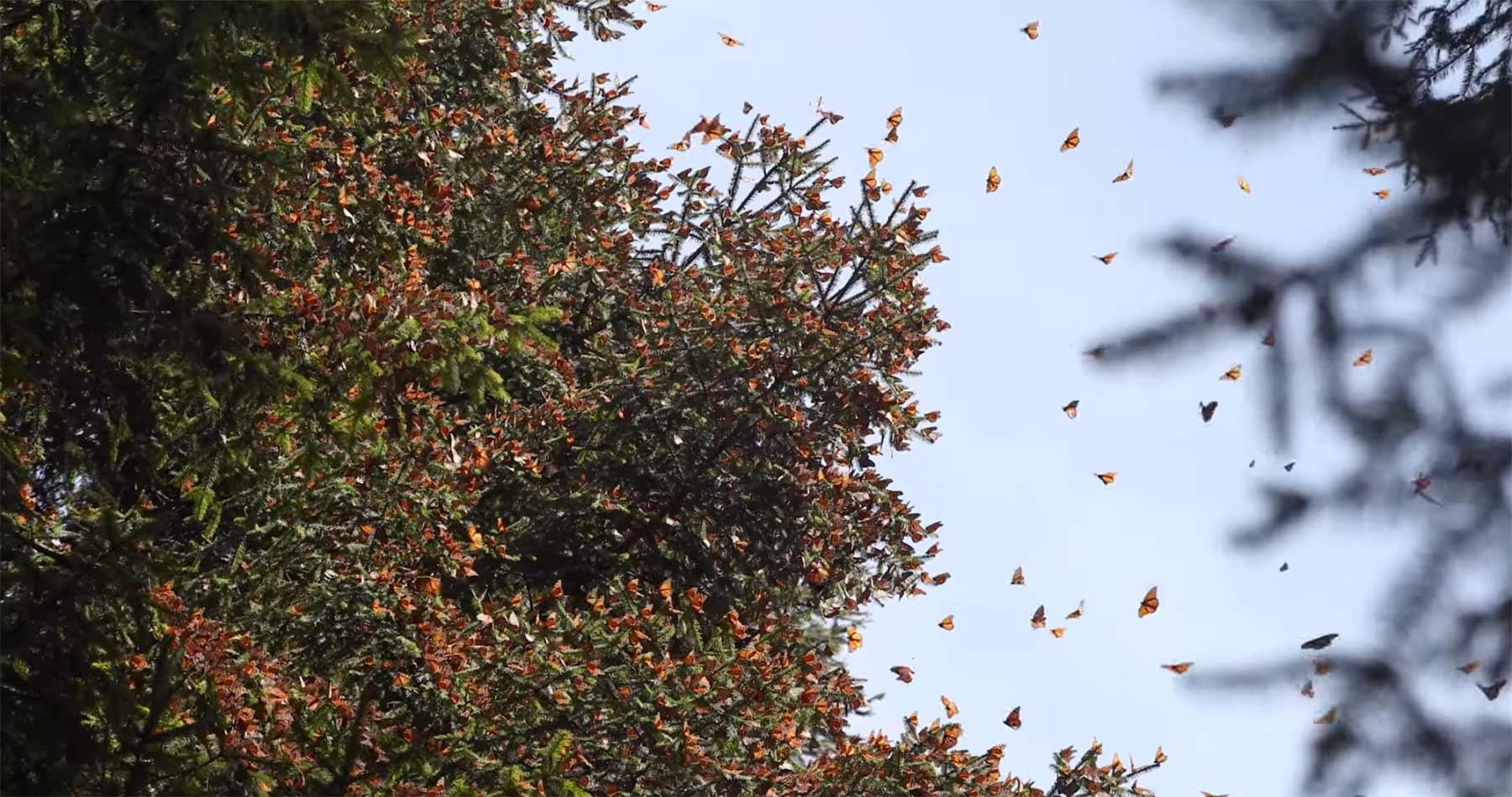 Millionen Schmetterlinge fliegen im Winter an diesen Ort monarchfalterwanderung