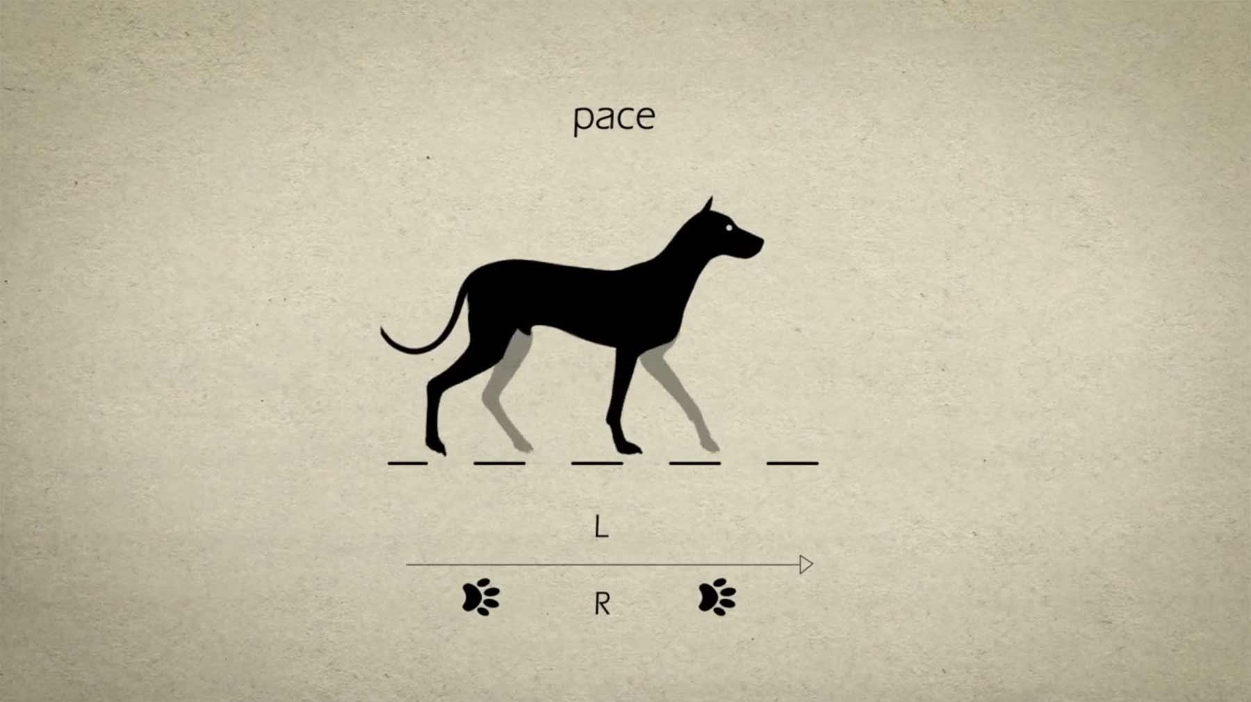 So bewegt ein Hund seine Pfoten bei unterschiedlichen Laufarten