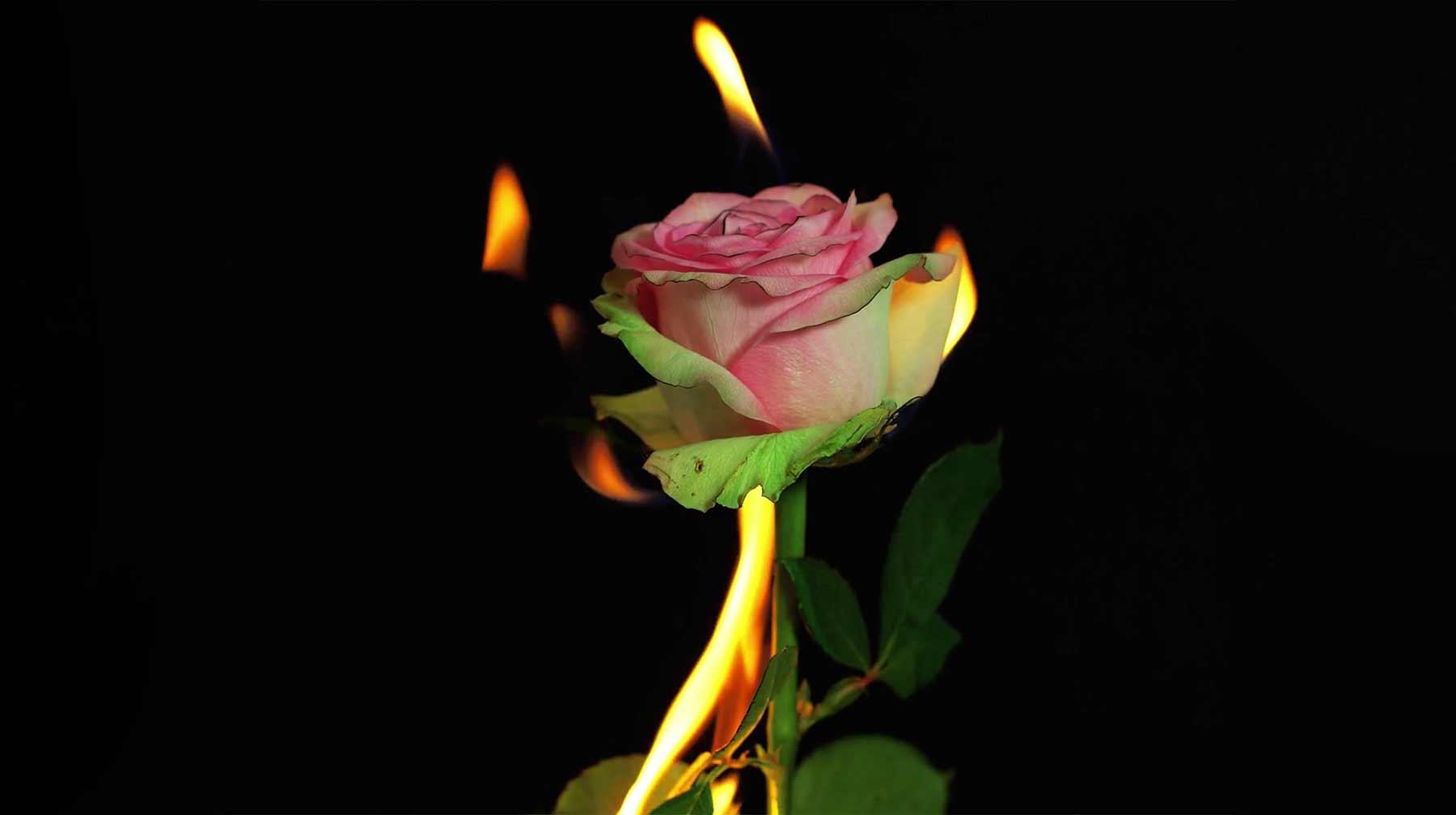 Blumen, die im Rückwärts-Zeitraffer brennen und gefrieren