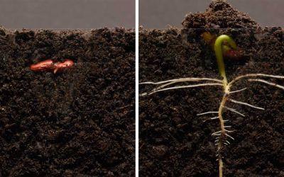 Was in 25 Tagen aus einer Bohne wächst in 3 Minuten