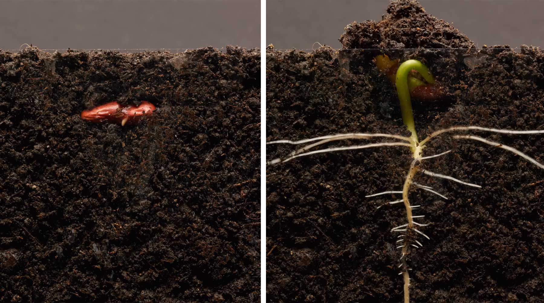 Was in 25 Tagen aus einer Bohne wächst in 3 Minuten bohnenpflanzenwachsenzeitraffer